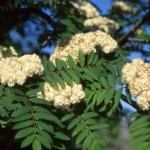 European Mountain-Ash flowers