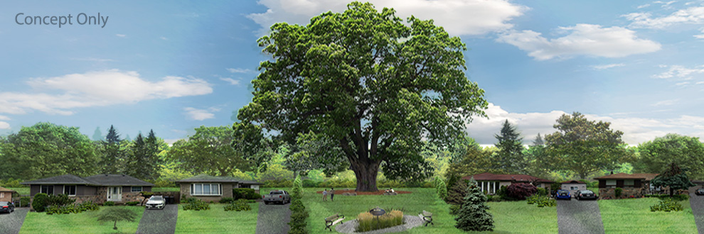 Preserving a 250 + Year Old Red Oak Tree in Toronto