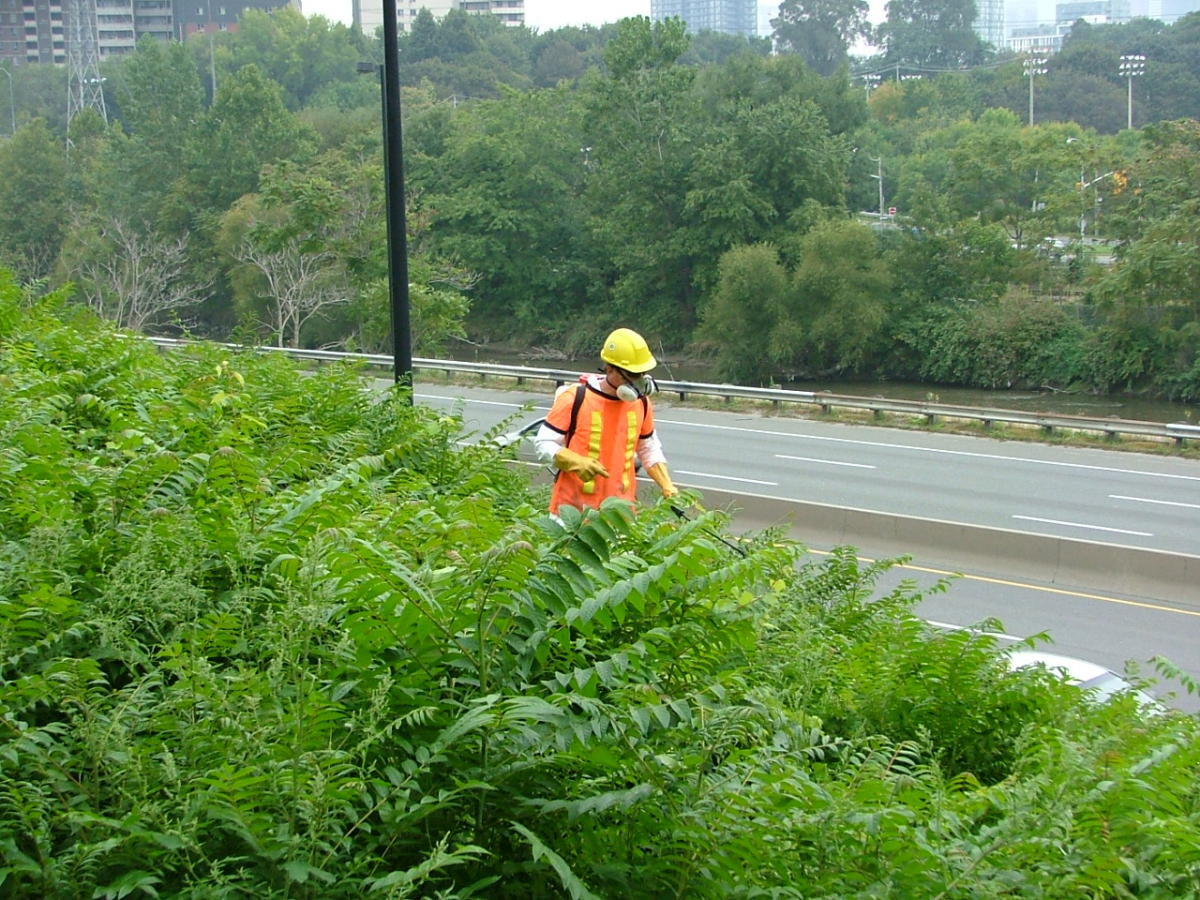 One of our crew treating tree of heaven along the side of the Don Valley Parkway.